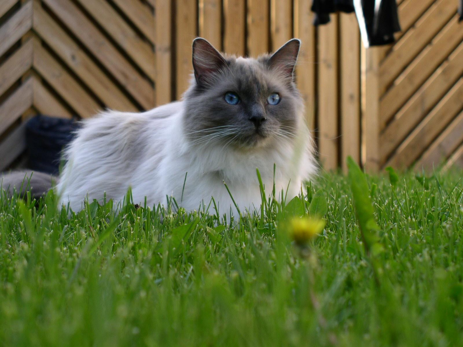 Ragdoll cat character price information and breeding Cat my love