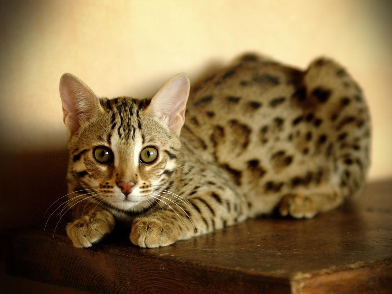 Bengal cat: character, breed description and owner reviews 43