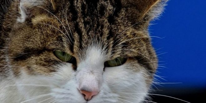 Feline calicivirus therapy, symptoms and contagion