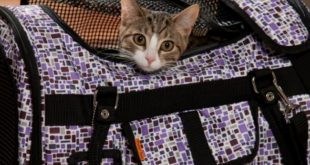 How to put the cat in the carrier and get it used to without stress